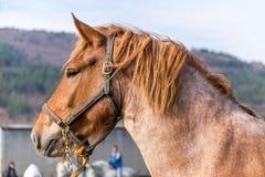 retrato marrom do cavalo Foto de Stock Royalty Free