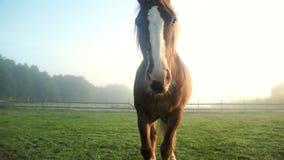 retrato marrom do cavalo Cavalo de Brown que anda no pasto na exploração agrícola animal filme