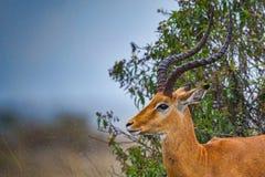 Retrato masculino de la cabeza del impala imágenes de archivo libres de regalías