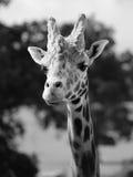 Retrato masculino de la jirafa Foto de archivo libre de regalías