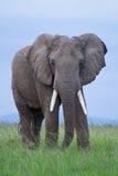 Retrato masculino del elefante africano Imagen de archivo