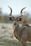 Retrato masculino del kudu Foto de archivo