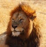 Retrato masculino del león Fotografía de archivo