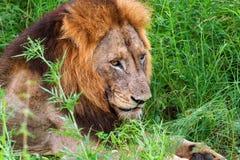 Retrato masculino del león - león africano de Southheast del krugeri de leo del Panthera del león de Transvaal, Afri del sur imagen de archivo libre de regalías