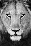 Retrato masculino del león (Panthera leo) Imagen de archivo