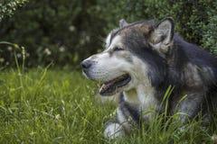 Retrato masculino do cão do Malamute do Alasca Fotografia de Stock