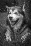 Retrato masculino do cão do Malamute do Alasca Foto de Stock Royalty Free