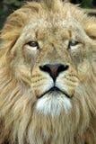 Retrato masculino do leão Foto de Stock Royalty Free