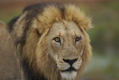 Retrato masculino do leão no parque de Kruger em África do Sul Imagem de Stock Royalty Free