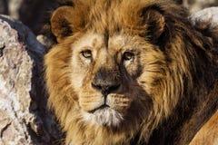 Retrato masculino do leão no safari do savana Foto de Stock