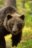 Retrato masculino do urso marrom na floresta Foto de Stock
