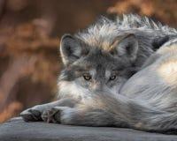 Retrato mexicano del primer del lobo gris Fotos de archivo