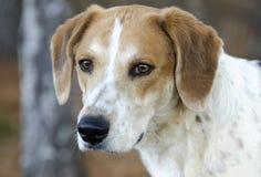 Retrato mezclado corredor de cross del perfil del perro de caza de la raza del beagle imagen de archivo