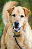 Retrato mezclado de la adopción del perro del golden retriever mayor Imagen de archivo libre de regalías