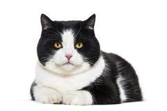Retrato mezclado del gato de la raza contra el fondo blanco imagen de archivo