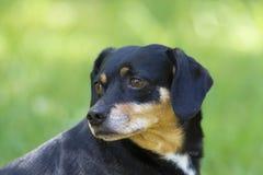 Retrato mezclado del perro de la raza Fotografía de archivo libre de regalías