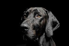 Retrato mezclado del perro negro de la raza en fondo negro fotografía de archivo