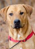 Retrato mezclado Rottweiler de la adopción del perro de la raza de Labrador Fotos de archivo libres de regalías