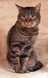 Retrato modelo del gato Imagenes de archivo