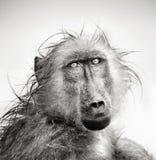 Retrato mojado del babuino Imagenes de archivo
