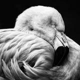Retrato monocromático de um flamingo chileno Imagens de Stock Royalty Free