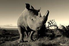Retrato monocromático del rinoceronte blanco Foto de archivo