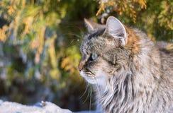 Retrato mullido del gato Imagen de archivo libre de regalías