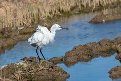 Retrato natural de um close-up alba do ardea branco do egret no parque natural de Albufera, Valência, Espanha Retrato maravilhoso foto de stock