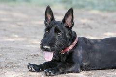 Retrato natural del perrito de Terrier del escocés Fotografía de archivo