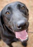 Retrato negro de la adopción del perro de Labrador Imágenes de archivo libres de regalías