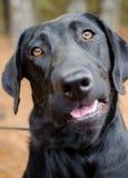 Retrato negro de la adopción del perro de Labrador Imagen de archivo libre de regalías