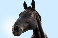 Retrato negro de la pista de caballo Imagenes de archivo
