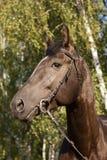 Retrato negro del caballo Fotografía de archivo