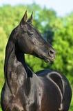 Retrato negro del caballo del akhalteke Imagen de archivo libre de regalías