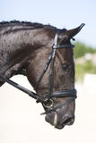 Retrato negro del caballo del dressage Imagen de archivo libre de regalías