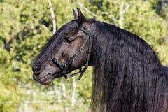 Retrato negro del caballo del Frisian Imagenes de archivo