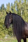 Retrato negro del caballo del Frisian Fotografía de archivo libre de regalías