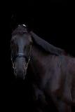 Retrato negro del caballo en fondo negro Imagen de archivo libre de regalías