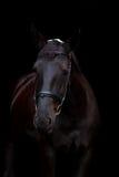 Retrato negro del caballo en fondo negro Foto de archivo libre de regalías