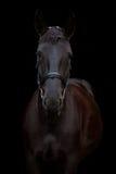 Retrato negro del caballo en fondo negro Imagenes de archivo