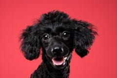 Retrato negro del caniche en fondo rojo Imagen de archivo libre de regalías