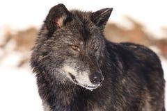 Retrato negro del lobo de madera imagen de archivo libre de regalías