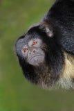 Retrato negro del mono de chillón Imagenes de archivo