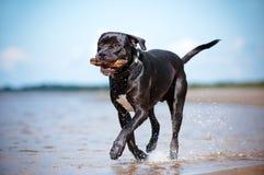Retrato negro del perro del corso del bastón al aire libre foto de archivo libre de regalías