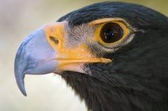 Retrato negro magnífico del águila. Imagen de archivo libre de regalías