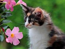 Retrato norueguês do gatinho do gato da floresta e flores cor-de-rosa fotos de stock