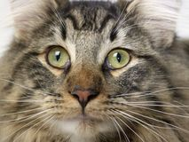 Retrato norueguês do gato da floresta Foto de Stock