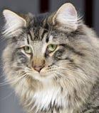 Retrato norueguês do gato da floresta Imagem de Stock Royalty Free