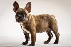 Retrato novo bonito do cachorrinho do buldogue francês fotos de stock
