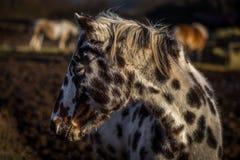 Retrato novo bonito do cavalo do appaloosa nos campos foto de stock